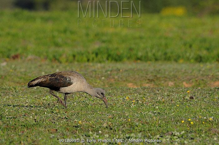 Hadeda Ibis (Bostrychia hagedash) foraging on grassland, deHoop Nature Reserve, Western Cape, South Africa, August  -  Tony Phelps/ npl