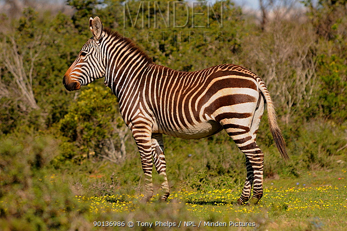 Cape Mountain Zebra (Equus zebra zebra) DeHoop NR, Western Cape, South Africa  -  Tony Phelps/ npl