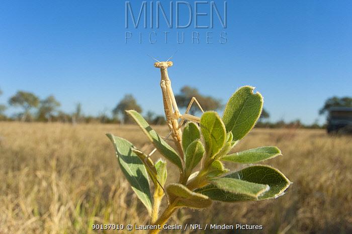 Praying mantis (Mantodea) on plant, Chobe National Park, Botswana, August  -  Laurent Geslin/ npl