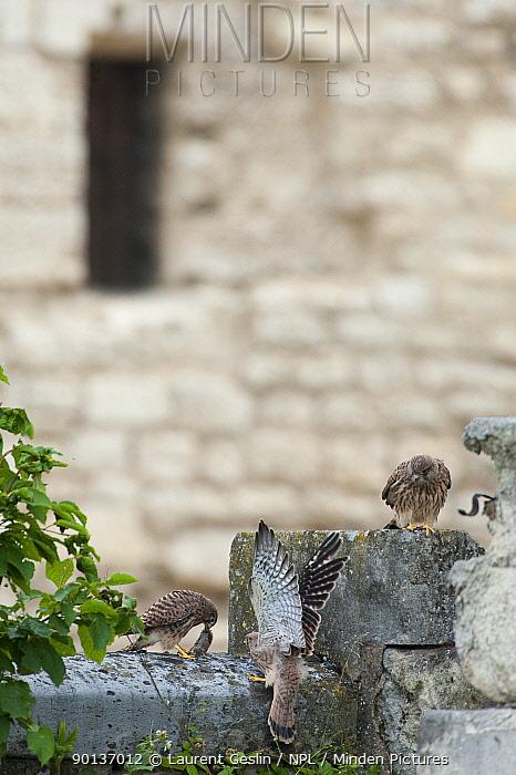 Three Kestrels (Falco tinnunculus), one with prey, on a stone wall in Paris, France  -  Laurent Geslin/ npl