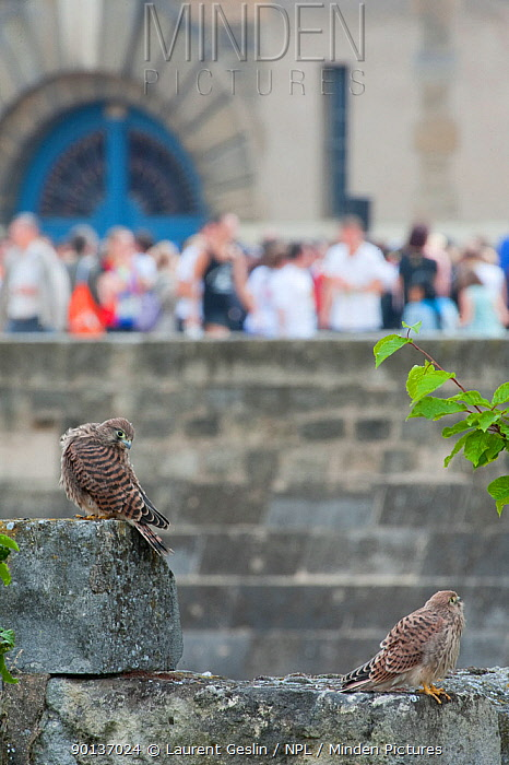 Two Kestrels (Falco tinnunculus) on a stone wall in Paris, with tourists in the background France  -  Laurent Geslin/ npl
