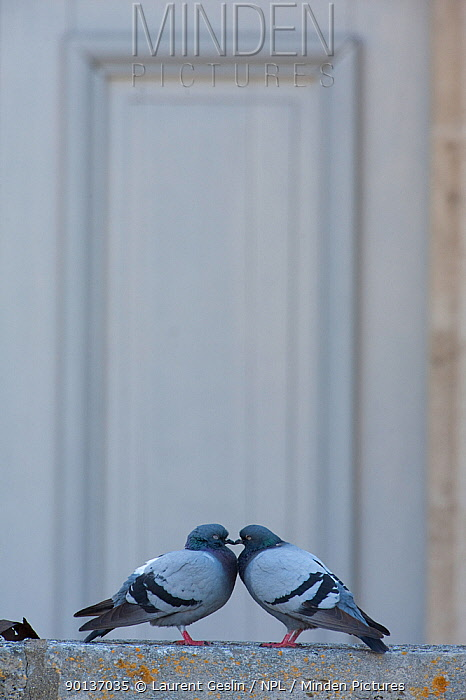 Male and female Feral pigeons (Columba livia) touching beaks Paris, France  -  Laurent Geslin/ npl