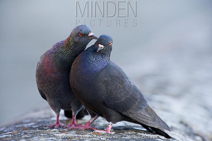 Male Feral pigeon (Columba livia) touching female with his beak Paris, France  -  Laurent Geslin/ npl