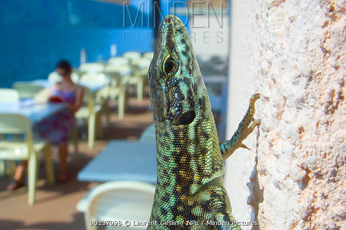 Common wall lizard (Podarcis muralis) climbing the wall of a restaurant overlooking lake, Switzerland, July  -  Laurent Geslin/ npl
