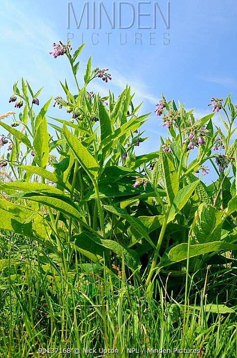 Common comfrey (Symphytum officinale) flowering in a hay meadow Gloucestershire, UK, June  -  Nick Upton/ npl