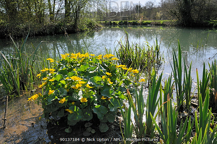 Marsh marigold, King cup (Caltha palustris) clump flowering near the margins of a stream Wiltshire, UK, April  -  Nick Upton/ npl