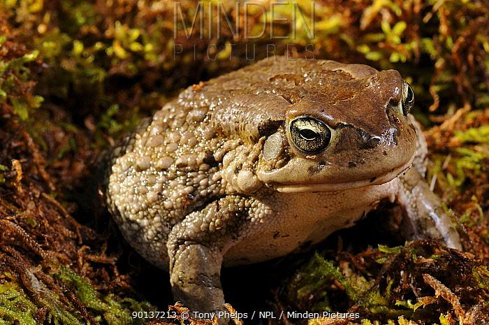 Karoo Toad (Bufo gariepensis) female portrait, Oudtshoorn, Little Karoo, South Africa, September  -  Tony Phelps/ npl