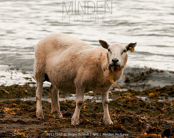 Domestic Sheep (Ovis aries) on shoreline feeding on kelp weed to supplement diet, due to over grazing, Varanger fjord, Arctic Norway June  -  Roger Powell/ npl