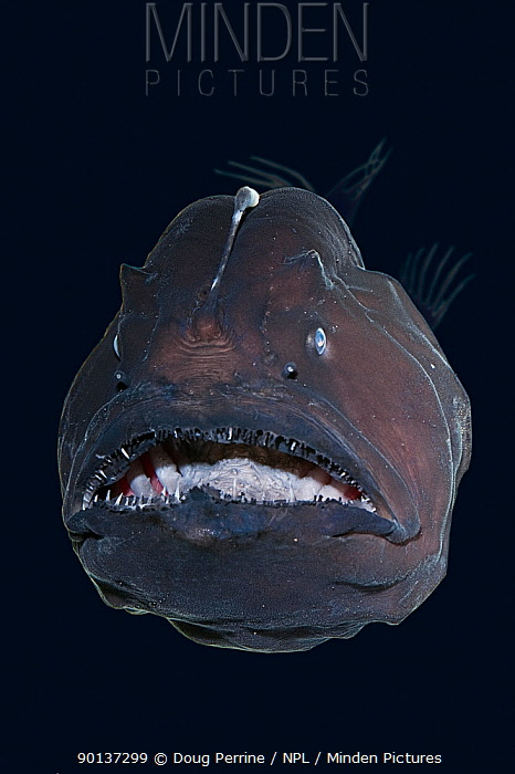 Live deep-sea anglerfish, black seadevil (Diceratias pileatus) captive, showing bioluminescent lure and razor sharp teeth, specimen brought up from a depth of 3,300 feet (1000m) in a water intake pipe at Natural Energy Lab of Hawaii, Keahole, Kona, Hawaii, digitally manipulated  -  Doug Perrine/ npl