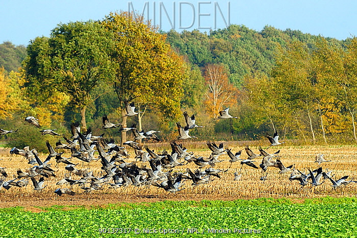 Common, Eurasian crane (Grus grus) flock taking off from maize stubble field, during autumn migration period, near Diepholz, Lower Saxony, Germany, October 2009  -  Nick Upton/ npl