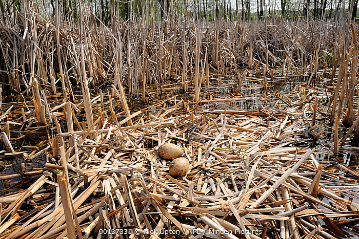 Two Common, Eurasian crane eggs (Grus grus) on nest made of old reeds in reed pool, with one egg starting to hatch Schorfheide-Chorin Biosphere Reserve, Brandenburg, Germany, April  -  Nick Upton/ npl