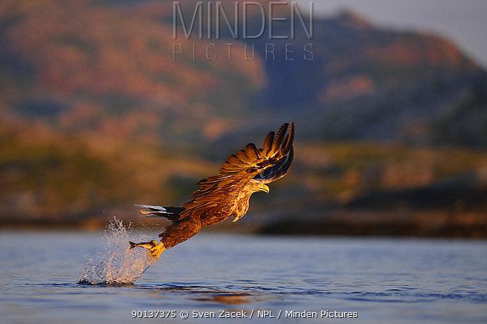 White-tailed sea eagle (Haliaeetus albicilla) in flight, hunting for fish, Atlantic ocean, Flatanger, Norway, Scandinavia  -  Sven Zacek/ npl