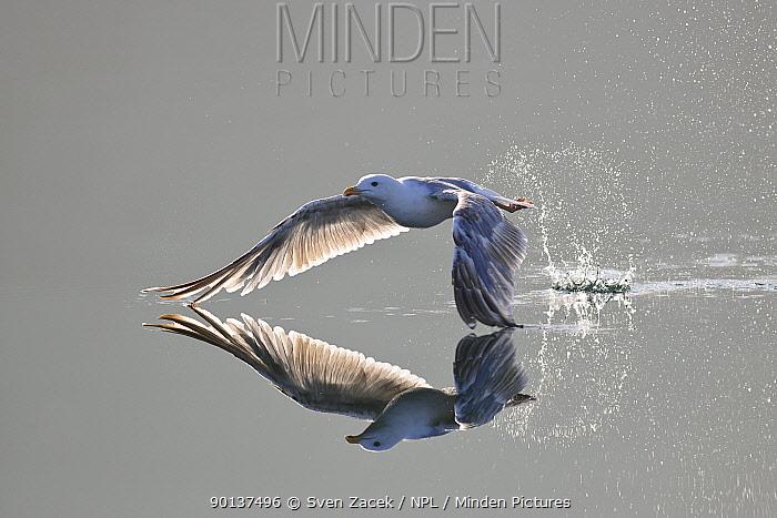 Herring gull (Larus argentatus) taking off from water, Atlantic ocean, Norway  -  Sven Zacek/ npl