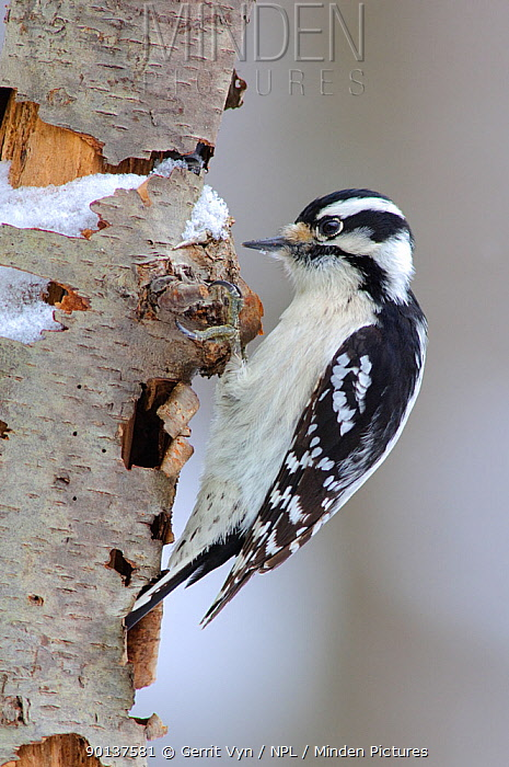Downy Woodpecker (Picoides pubescens) female, foraging on a decaying tree February, Tompkins County, New York  -  Gerrit Vyn/ npl