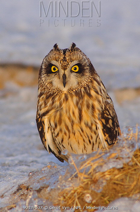 Short-eared Owl (Asio flammeus) on the ground, with erect ear tufts Jefferson County, New York, USA  -  Gerrit Vyn/ npl