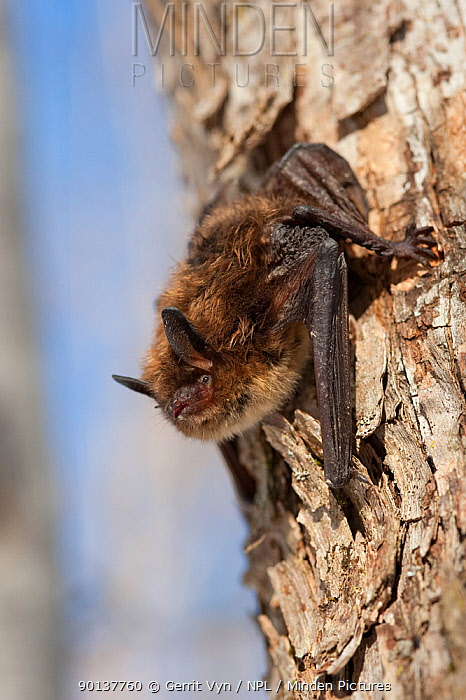 A Little Brown Bat ( Myotis lucifugus) clings to a tree on 20 degree F day outside Aeolus Cave Despite the apparent health of this individual, it is supposed to be in deep hibernation White-nose syndrome is infecting many of the bats here This is a deadly fungal infection, which causes a distinctive ring of fungal growth around the muzzles and on the wings of cave bats Bennington County, Vermont, USA, March 2009  -  Gerrit Vyn/ npl