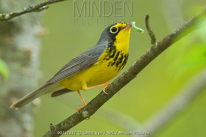 Canada Warbler (Wilsonia canadensis) male in breeding plumage with a caterpillar prey, Tompkins County, New York, USA, May  -  Gerrit Vyn/ npl
