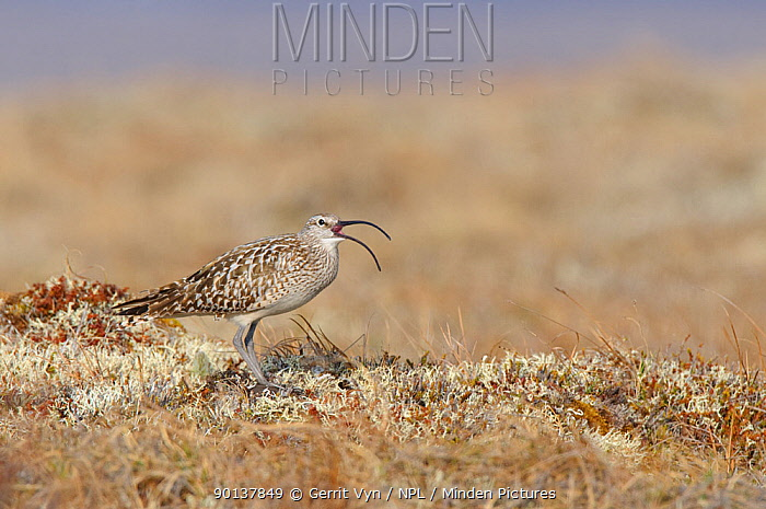 Adult Bristle-thighed Curlew (Numenius tahitiensis) vocalizing on its breeding grounds Seward Peninsula, Alaska, USA, June  -  Gerrit Vyn/ npl