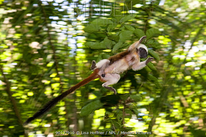 Wild Cotton-top tamarin (Saguinus oedipus) appears to fly through the air as it jumps from branch to branch (never before photographed)  -  Lisa Hoffner/ npl