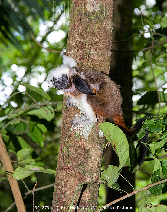 Wild Cotton-top tamarin (Saguinus oedipus), climbing tree in the dry tropical forest carrying less-than-a week old baby on his back Colombia, South America  -  Lisa Hoffner/ npl