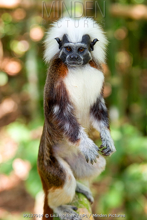 Wild Cotton-top tamarin (Saguinus oedipus) standing on back legs (behavior never observed or photographed before) in the dry tropical forest of Colombia, South America  -  Lisa Hoffner/ npl