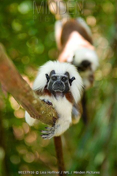 Wild Cotton-top tamarins (Saguinus oedipus) resting on vine in dry tropical forest of Colombia, South America  -  Lisa Hoffner/ npl