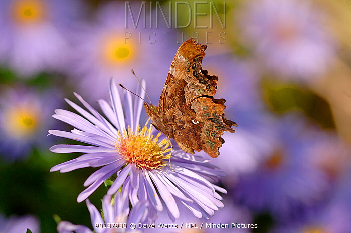 Comma butterfly (Polygonia c-album) collecting nectar from Aster flower, UK  -  Dave Watts/ npl