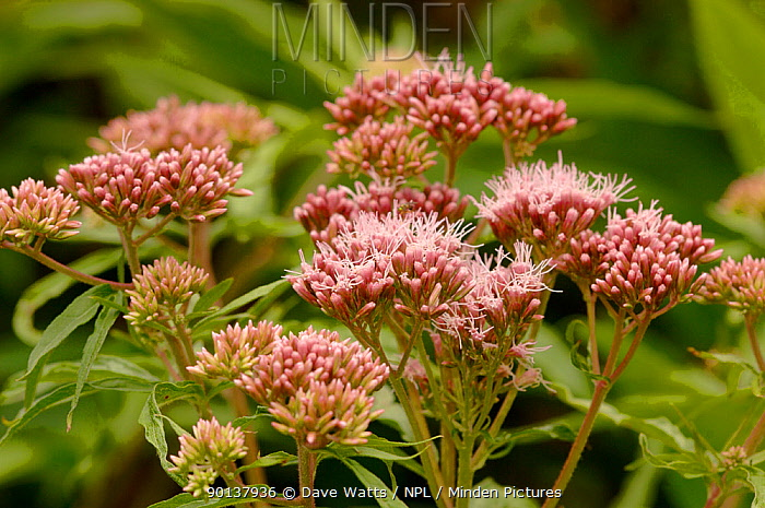 Hemp agrimony (Eupatorium cannabinum) in flower, UK  -  Dave Watts/ npl