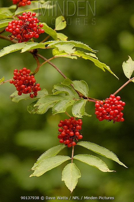 Red-berried elder (Sambucus racemosa) with berries, UK  -  Dave Watts/ npl