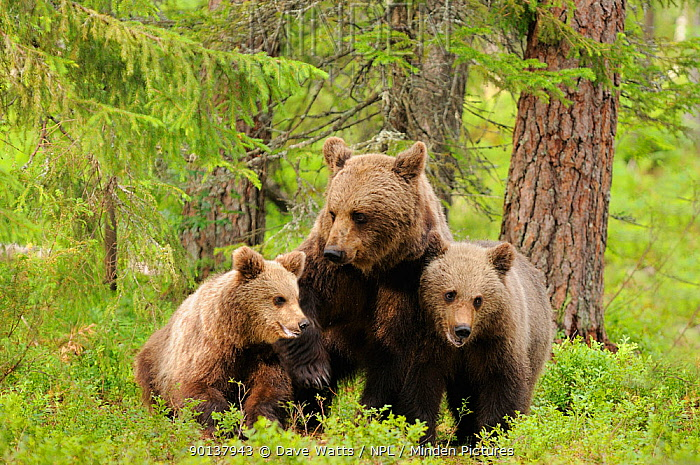 Female European brown Bear (Ursus arctos) with two cubs, Finland, Europe  -  Dave Watts/ npl
