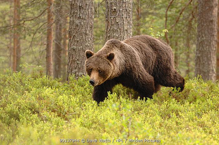 European brown Bear (Ursus arctos) walking through forest, Finland, Europe  -  Dave Watts/ npl