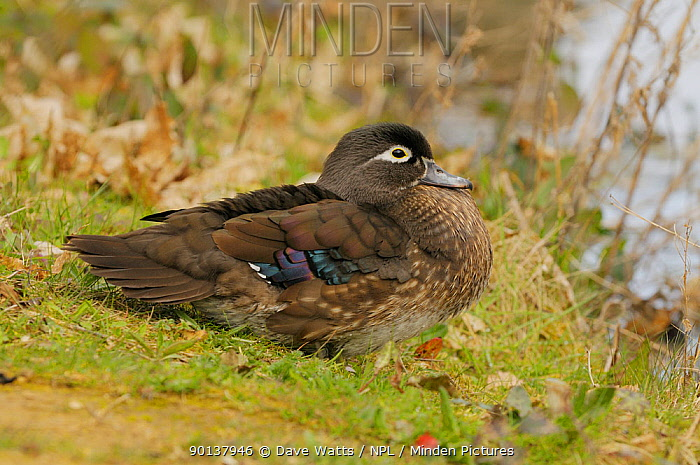 Female Carolina wood duck (Aix sponsa) on bank by water, captive, occurs North America  -  Dave Watts/ npl