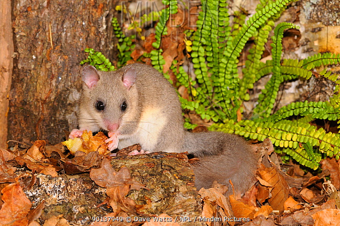 Edible dormouse (Glis glis) foraging on the forest floor, France, Europe  -  Dave Watts/ npl