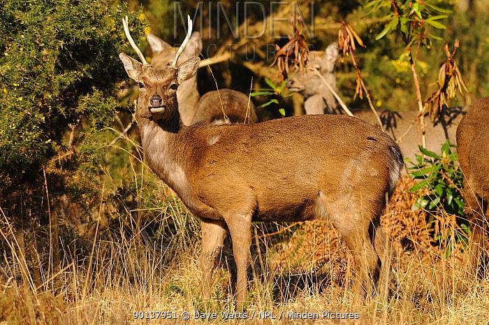 Small herd of Japanese sika deer (Cervus nippon) Dorset, England  -  Dave Watts/ npl