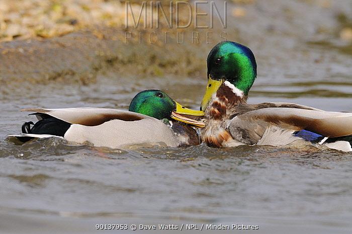 Two drake Mallard ducks (Anas platyrhynchos) fighting on water, England, UK  -  Dave Watts/ npl