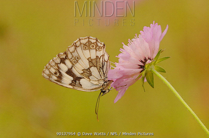 Marbled white butterfly (Melanargia galathea) at rest on flower, England, UK  -  Dave Watts/ npl