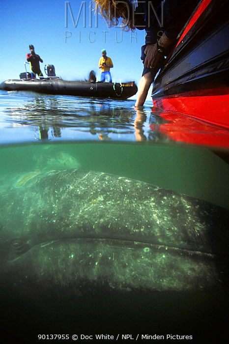 Split-level image of Grey whale (Eschrichitius robustus) mother and calf encounter with people on boat, Baja California, Mexico, Pacific  -  Doc White/ npl