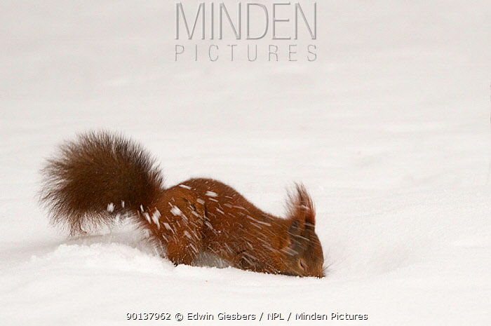 Red squirrel (Sciurus vulgaris) digging in deep snow, Austria, Europe  -  Edwin Giesbers/ npl