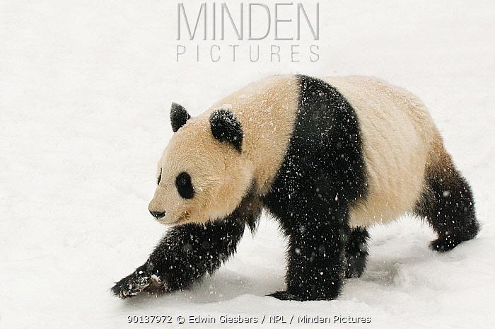 Giant panda (Ailuropoda melanoleuca) walking in the snow, captive (born in 2000) Occurs China  -  Edwin Giesbers/ npl