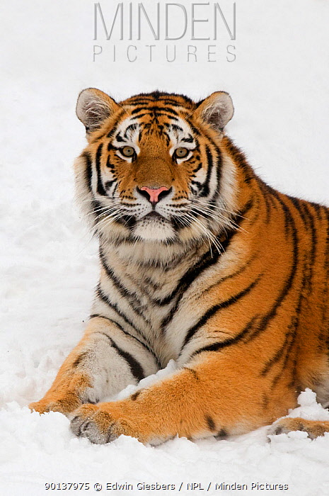Portrait of Siberian tiger (Panthera tigris altaica) resting in the snow, captive  -  Edwin Giesbers/ npl