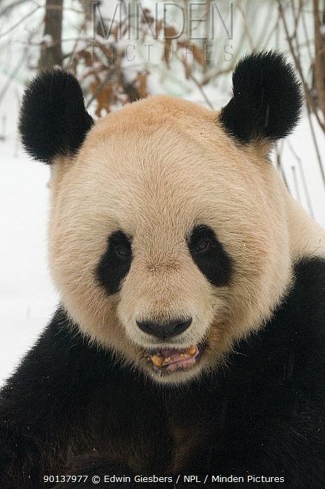 Head portrait of Giant panda (Ailuropoda melanoleuca) chewing on bamboo in the snow, captive (born in 2000) Occurs China  -  Edwin Giesbers/ npl