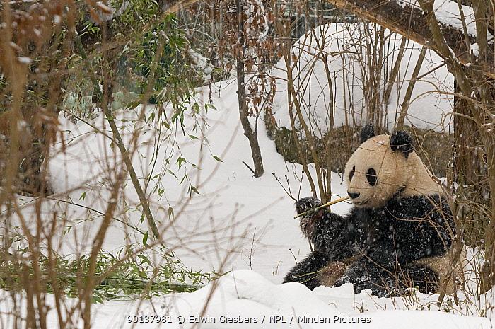 Giant panda (Ailuropoda melanoleuca) feeding on bamboo in the snow, captive (born in 2000) Occurs China  -  Edwin Giesbers/ npl