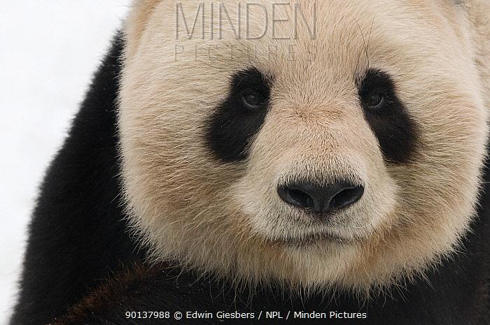 Head portrait of Giant panda (Ailuropoda melanoleuca) captive (born in 2000) Occurs China  -  Edwin Giesbers/ npl