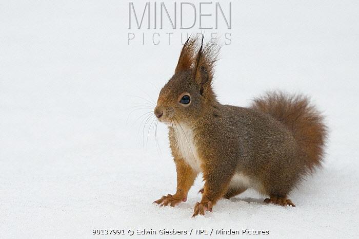 Red squirrel (Sciurus vulgaris) in snow, Austria, Europe  -  Edwin Giesbers/ npl