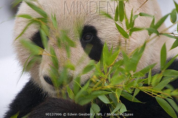 Head portrait of Giant panda (Ailuropoda melanoleuca) feeding on bamboo, captive (born in 2000)  -  Edwin Giesbers/ npl