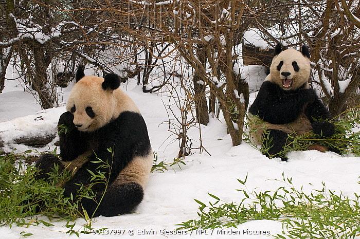 Two Giant pandas (Ailuropoda melanoleuca) feeding on bamboo in the snow, captive (born in 2000)  -  Edwin Giesbers/ npl