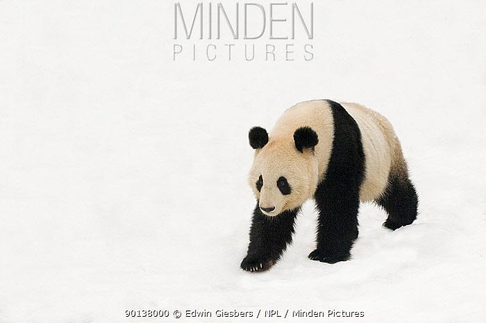 Giant panda (Ailuropoda melanoleuca) walking in deep snow, captive (born in 2000)  -  Edwin Giesbers/ npl