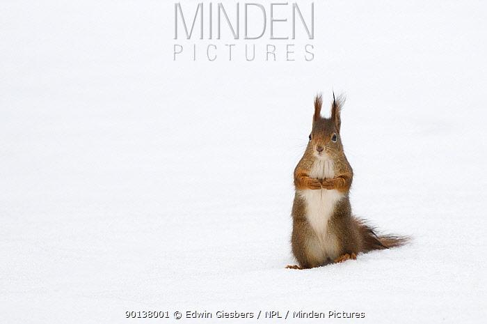 Red squirrel (Sciurus vulgaris) sitting upright in deep snow, Austria, Europe  -  Edwin Giesbers/ npl