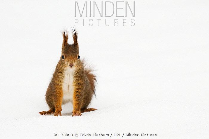 Red squirrel (Sciurus vulgaris) sitting in snow, Austria, Europe  -  Edwin Giesbers/ npl