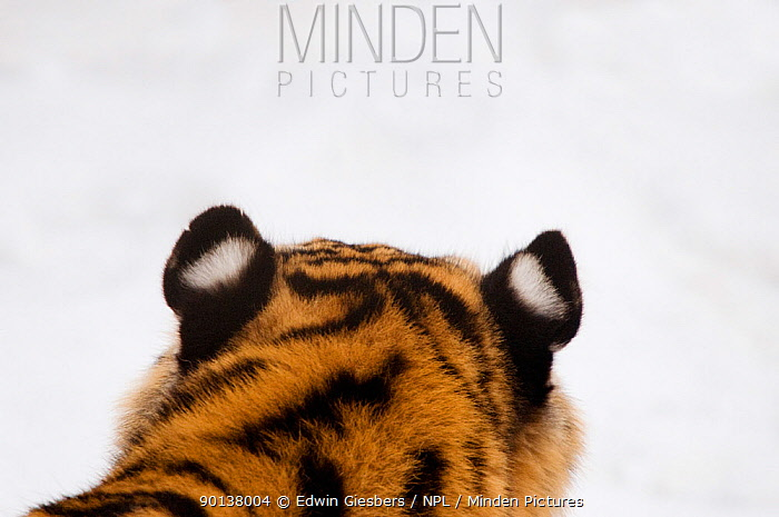 Rear view of top of head and ears of Siberian tiger (Panthera tigris altaica) captive  -  Edwin Giesbers/ npl